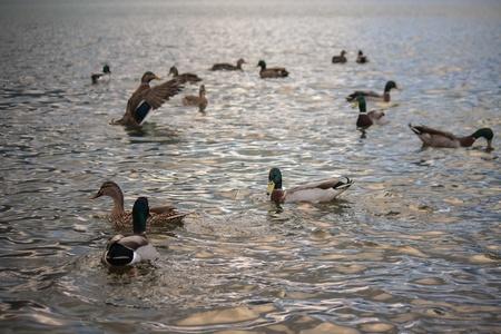 wild ducks swimming on lake at sunset Stock Photo - 19604956