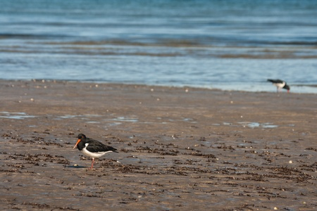 oystercatchers on beach at low tide photo