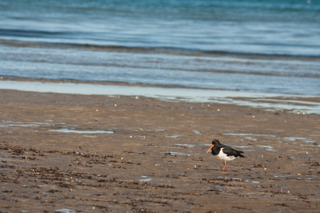 young oystercatcher searching for food photo