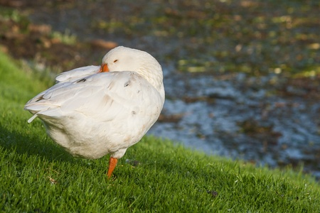 domestic goose on green grass photo