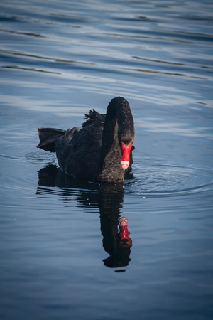 black swan reflecting on lake surface photo