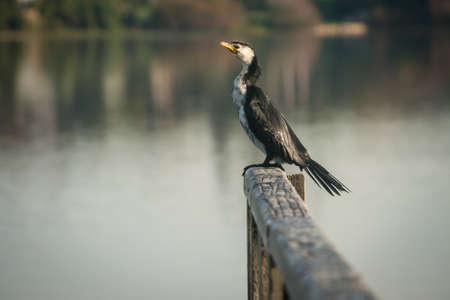 srokaty: Australijski Pied Cormorant Zdjęcie Seryjne