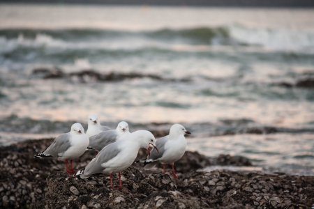 flock of red-billed gulls photo