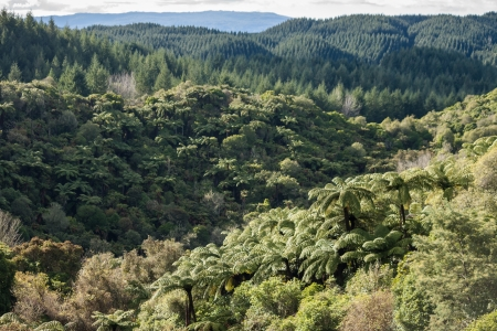 tropical native fern: mixed forest in Waimangu volcanic valley Stock Photo