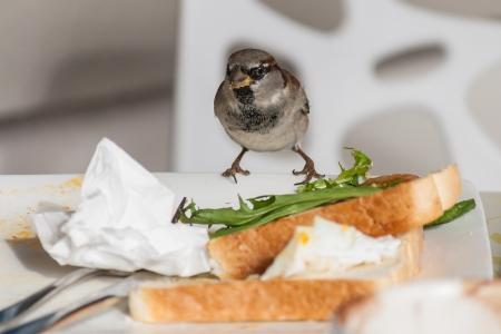 leftovers: common sparrow feeding on leftovers