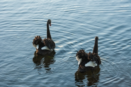pair of courting black swans photo