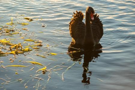 black plumage: black swan showing off plumage Stock Photo