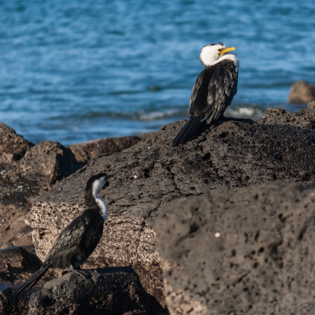 cormorants: cormorants resting on rocks