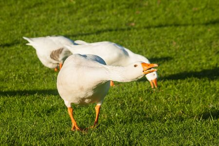 attacking: attacking domestic geese