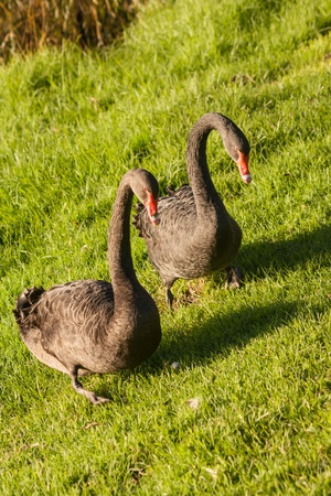black swans grazing on fresh grass photo
