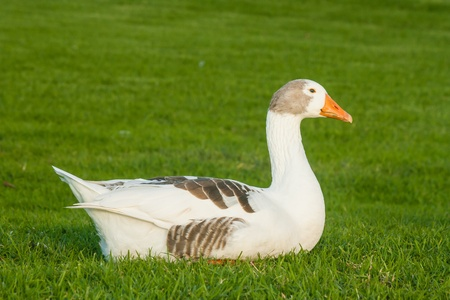 domestic goose resting on grass photo
