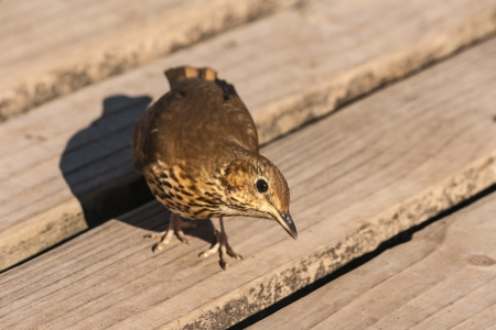 turdus: curious songbird on wooden boards