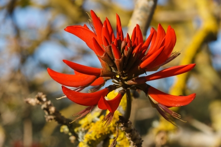 coral bark: red flowers of common coral tree