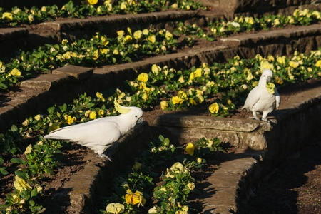 pair of white cockatoos  pecking floral display photo