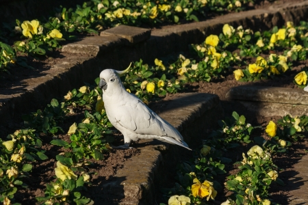 sulphur-crested cockatoo sitting on flower bed photo