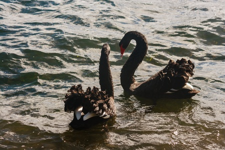 courting black swans on lake photo