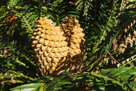 cycad: detail of cycad cones Stock Photo
