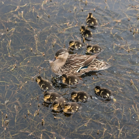mallard duck with ducklings photo