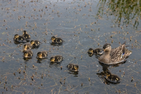 mallard with ducklings photo