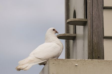 white pigeon perched at dovecote photo