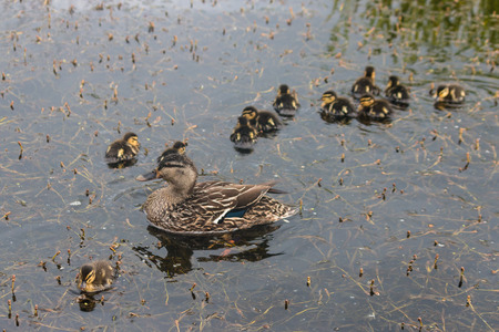 wild duck with ducklings photo