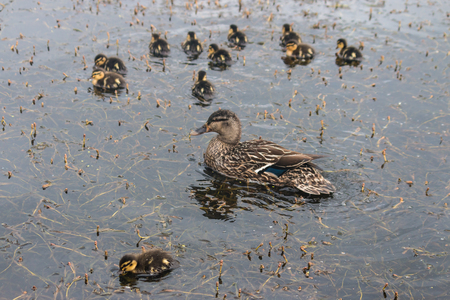 mallard with ducklings swimming on lake photo