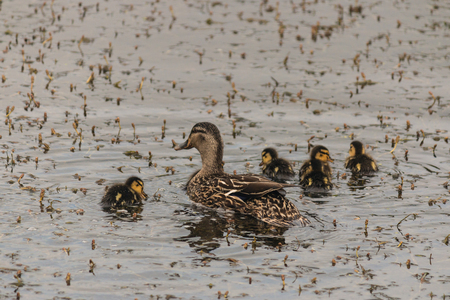 detail of female mallard with ducklings photo