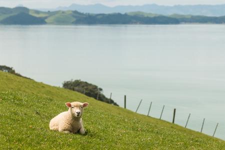 lamb resting on grassy slope