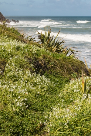 new zealand flax: wild garlic flowers growing on cliffs at Muriwai