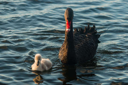 swam with cygnet swimming on lake photo