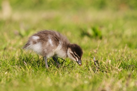 little duckling on grass photo