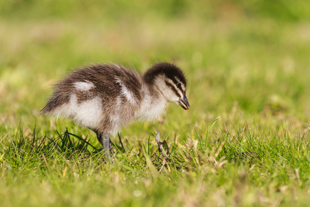 isolated duckling standing on grass photo