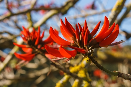 coral bark: coral tree flowers
