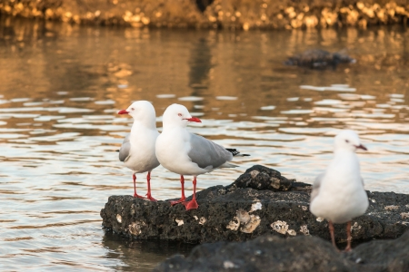 red billed seagulls standing on volcanic rocks photo