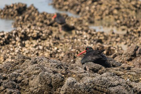 variable: variable oystercatcher resting on volcanic rocks Stock Photo