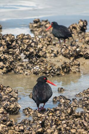 variable: pair of variable oystercatchers foraging for food Stock Photo