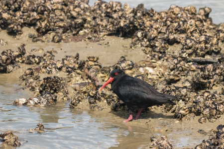 variable: variable oystercatcher searching for food