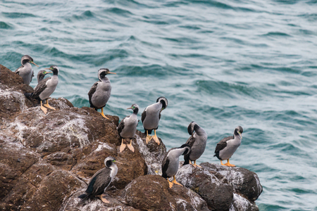 spotted shags on cliff ledge photo