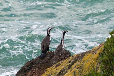 pair of spotted shags on cliffs photo