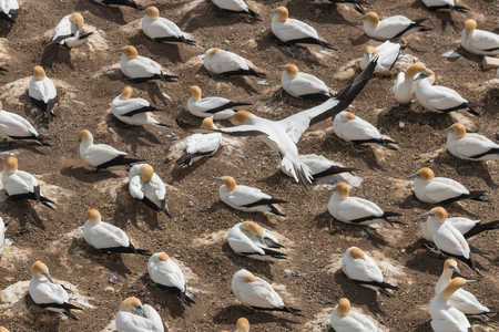 seabirds: colony of gannets nesting on cliffs