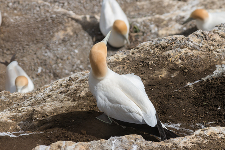 nesting: detail of nesting gannets Stock Photo