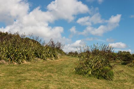 new zealand flax: New Zealand flax growing on hill