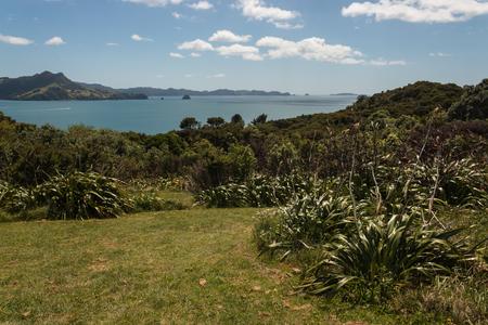 new zealand flax: New Zealand flax growing on hills above Mercury Bay