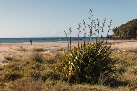 new zealand flax: Harakeke growing on beach
