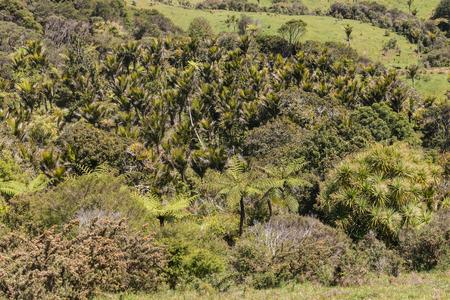tropical native fern: Nikau palms grove in Coromandel Ranges Stock Photo