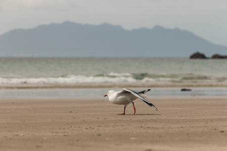 red-billed seagull stretching its wings photo