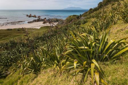 new zealand flax: New Zealand flax growing on slope in Omaha Bay Stock Photo