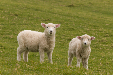 two staring lambs