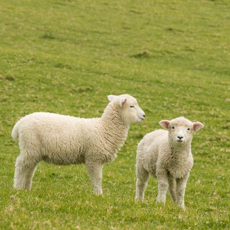 pasen schaap: voorjaar lammeren