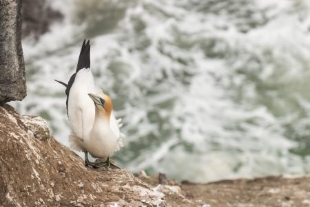 steep cliffs: gannet nesting on steep cliffs Stock Photo